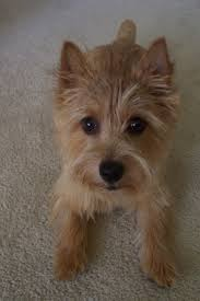 small house dogs 24 best dogs norwich terriers images on pinterest norwich