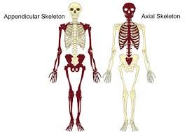 Images Of Human Anatomy And Physiology The Axial U0026 Appendicular Skeleton The Skeleton U0026 Bones Anatomy