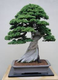 gardenenvy bonsai in seattle small trees big impact