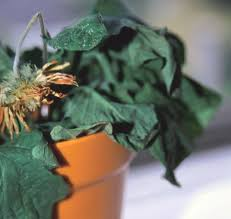 common houseplant ailment remedies from yankee magazine u0027s garden