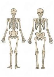 Anatomy Of The Human Skeleton 130 Best Anatomy Images On Pinterest Anatomy Human Body And