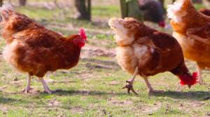 10 best egg laying chicken breeds youtube