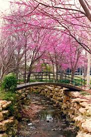 Botanical Gardens Ft Worth Bridge Redbuds Fort Worth Botanical Gardens The Bridge Flickr