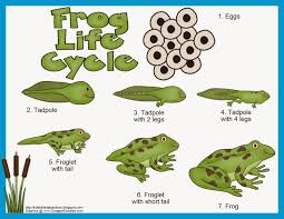 life cycle of a frog for kids business card size net