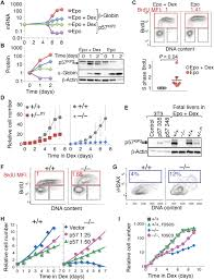 global increase in replication fork speed during a p57kip2