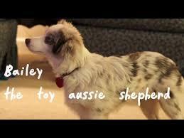 australian shepherd size at 5 months toy australian shepherd youtube