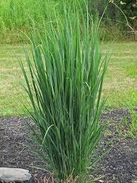 native grass plants panicum u0027northwind u0027 the obsessive neurotic gardener