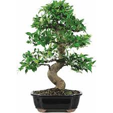 cheap ficus small trees bonsai find ficus small trees bonsai