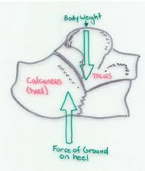 Anatomy Of The Calcaneus Calcaneal Calcaneus Fracture Footeducation