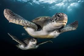 imagenes tortugas verdes durante un viaje de buceo en tenerife greg lecoeur de encontró con