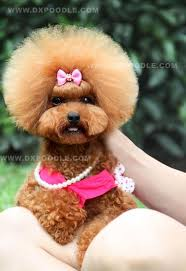 different toy poodle cuts i think i need to let button grow out so i can do this hairstyle on