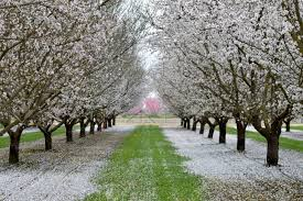tree with white flowers almond blossoms beautiful trees with white flowers in