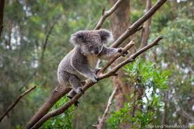 imagenes animales australia australian animals list with pictures facts information