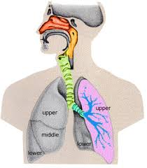 Human Anatomy Respiratory System Anatomy And Physiology Of Respiratory System Tutorial