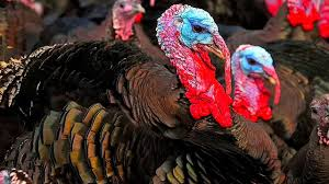 facts about thanksgiving turkey top 7 fun facts about turkeys youtube