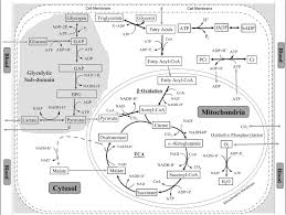 Cell Cycle Concept Map Oxidative Phosphorylation Concept Map