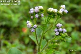 non native plant blue mistflower conoclinium coelestinum what florida native