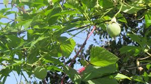 native plants of south texas vines for texas dallas garden buzz