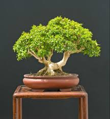 beginners guide to the best indoor bonsai trees grow a bonsai tree