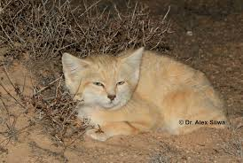 sand cats of the sahara desert international society for