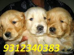 boxer dog quikr 9971331250 9212501257 testify pet shop puppy for sell golden