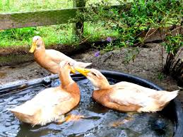Backyard Duck Ponds Best Duck Breeds For Pets And Egg Production Hgtv