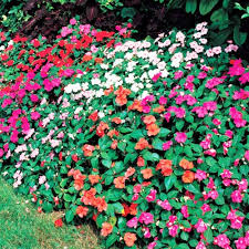 impatiens flowers impatiens flowers seeds mix containers hanging baskets window