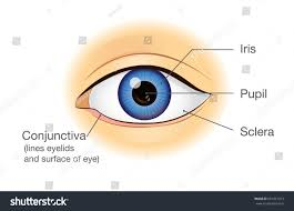 Picture Of Eye Anatomy Human Eye Anatomy Front View Illustration Stock Vector 661827013