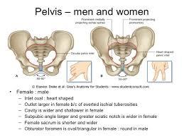 Perineum Anatomy Female Abdomen Pelvis And Perineum Anatomy Www Jinekolojivegebelik Com