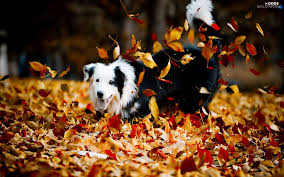 autumn play dog dogs wallpapers 1680x1050