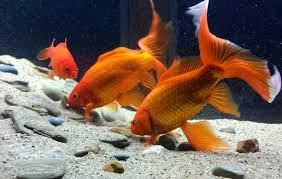 Best Substrate For Aquascaping Goldfish And Substrate My Aquarium Club