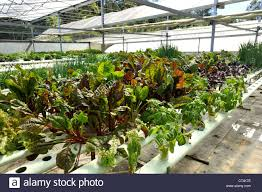 Hydroponics Vegetable Gardening by Hydroponic Vegetables Stock Photo Royalty Free Image 113759040