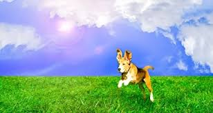 boxer dog in heaven are there animals and pets in the afterlife yes according to