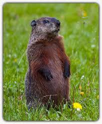 groundhog removal services statesville mooresville mocksville