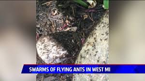 Ants In Bathtub Swarms Of Flying Ants In West Michigan Explained Fox17
