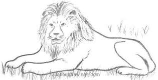 gallery lion picture drawings drawing art gallery