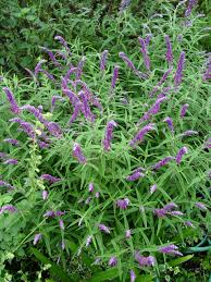 Heat Resistant Plants Mexican Bush Sage Repels Fleas Ticks And Deer Is Also Fire
