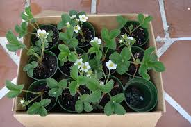 Strawberry Plant Diseases - urban earth box strawberry plant disease