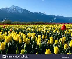 culitvated tulip field during the agassiz tulip festival in the