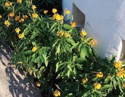 crossandra mango and jellybean plant ornamental plants and flowers
