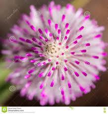 western australia native plants western australia native wildflower mulla mulla macro pink stock