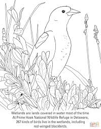 red winged blackbird coloring page free printable coloring pages