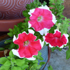 caring for petunias in pots u2013 how to grow petunias in containers