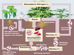 nitrogen cycle wikipedia