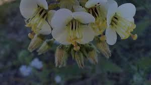 anza borrego desert wildflowers youtube