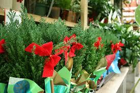Christmas Plants Houseplants To Grow Or Give On The Holidays Mrbrownthumb