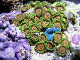 led lighting for zoanthids faqs about zoanthid compatibility control