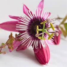 fruit edible flower passiflora edible fruit easy to grow