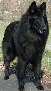 belgian shepherd wolf mix 233 best animais images on pinterest animals cattle and livestock