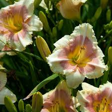 reblooming daylilies tulip world when my sweetheart returns reblooming daylily 27276